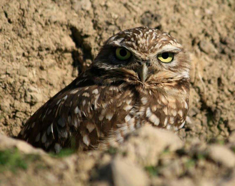 Burrowing Owl In Antioch
