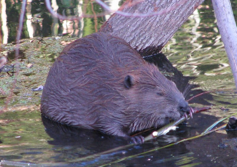 Beaver Chewing Willow Branch In Napa River