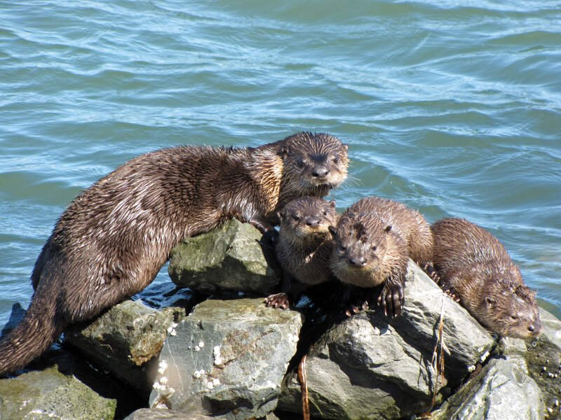 River Otter Richmond Marina Scott Campbell July C