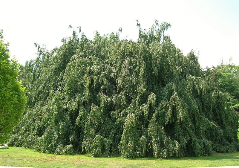 Weeping European Beechc Cranbury Parkc Norwalkc Ct   August C