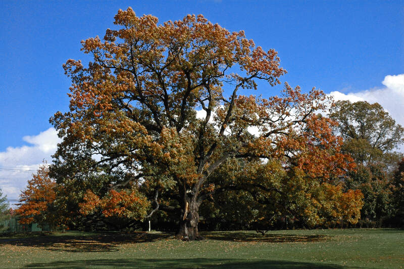 Old Oak Tree In Florham Park Nj