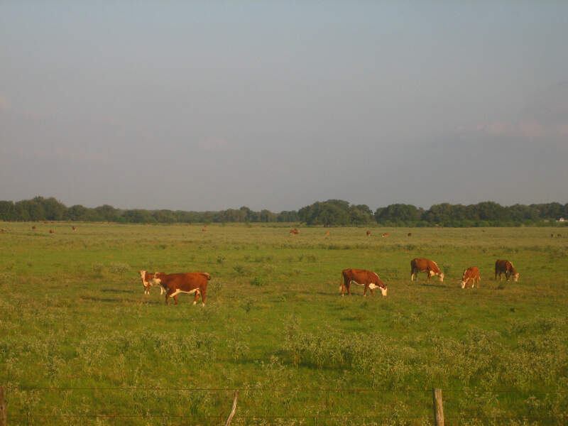 Cattle Near Beevillec Tx Img