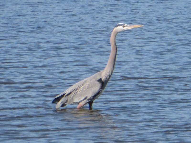 Grey Heron In Seabrook Texas