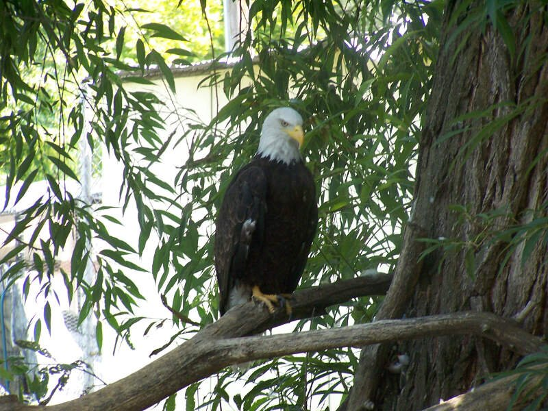 Baldeagle At Willparkzoo